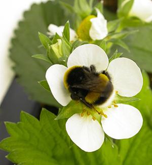 زنبورگرده افشان بامبل